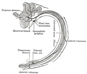 Intercostal-Nerve-1