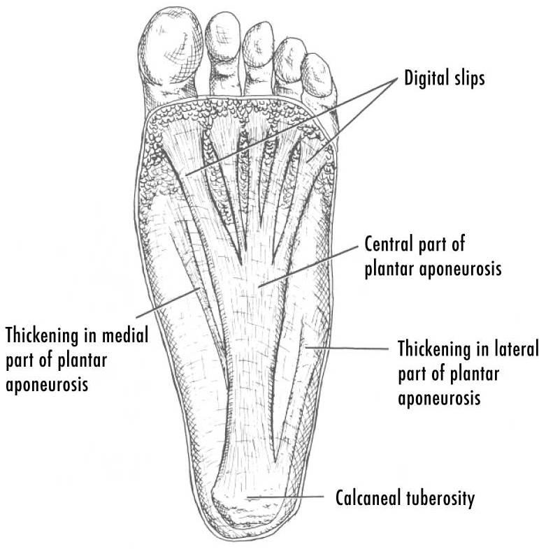 Plantar Fasciitis Anatomy | PainDoctor.com